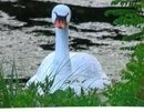 Photo of Fake Swan at Duck Pond