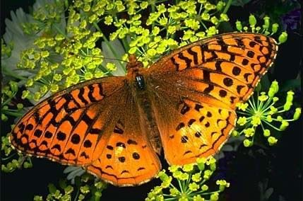 Great Spangled Fritillary butterfly