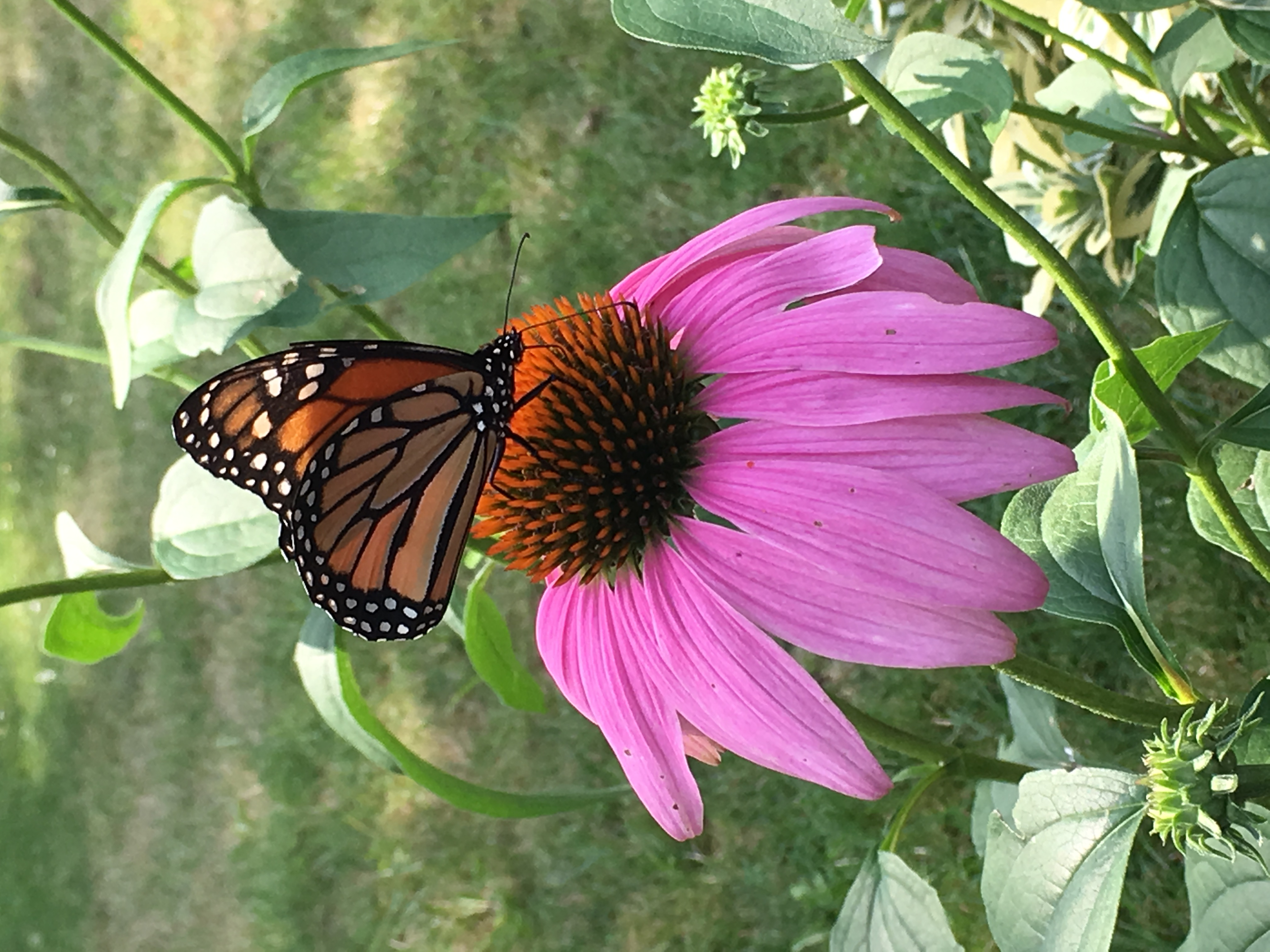 butterfly garden national pollinator week